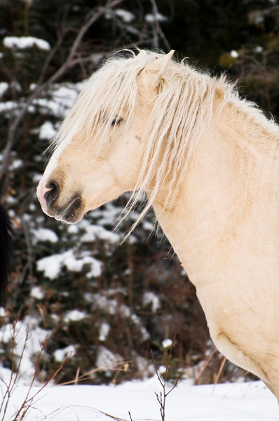 December 13, 2013<br /> <br /> Blondie<br /> <br /> Near Nordegg, Alberta<br /> <br /> * There are only a few herds of wild horses still roaming Alberta, and this blonde stallion belongs to one of them. Anytime I go to the Nordegg area, I am hopeful I will get  a glimpse of these beauties. Our trip in November was no exception :) The herd looked great - strong and healthy!