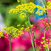 October 18, 2013<br /> <br /> Shades of Summer<br /> <br /> * As much as I love autumn, I am having trouble letting go of summer!! This is an image of some dill set against my garden flowers. I will miss all those great colours.