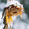 December 3, 2012<br /> <br /> Sunflower in Winter<br /> <br /> Elk Island Retreat<br /> Near Fort Saskatchewan, Alberta