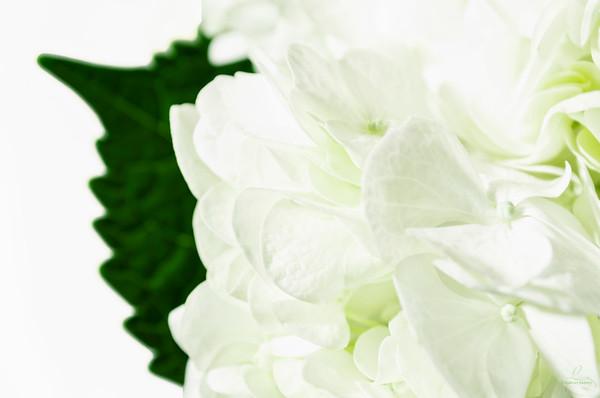 White Hyrdangea