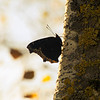 April 16, 2013  Mourning Cloak