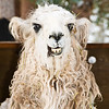 February 1, 2012<br /> <br /> Festus<br /> <br /> Llama at Cheechako Cabins<br /> Nordegg, Alberta<br /> <br /> * For the month of February, I will be processing images of my furry and feathered friends.<br /> I hope you enjoy them :)