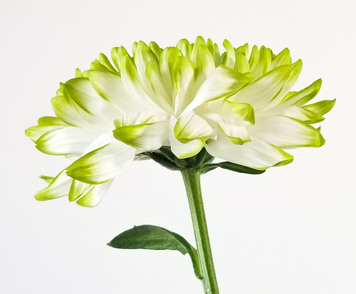 B.C. Chrysanthemum