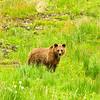 November 28, 2012<br />  <br /> Grizzly Bear<br />  <br /> Hwy 40<br /> Near Grande Cache, Alberta