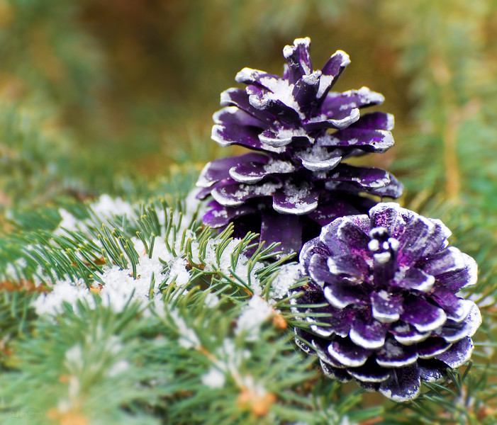 "December 27, 2011<br /> <br /> ""Purple Pine Cones""<br /> <br /> * For the month of December I am challenging myself to post images that could be used as a Christmas card. I hope you enjoy them :)"
