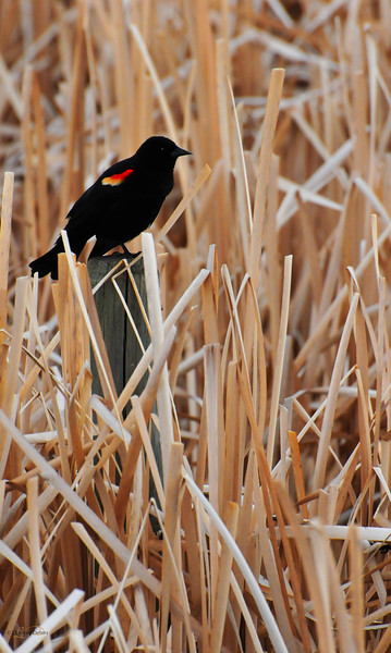 June 7, 2012<br /> <br /> Red-Winged Blackbird<br /> <br /> Rural Alberta