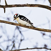 "Day Forty-Four<br /> <br /> ""Hello Up There""<br /> <br /> Male Downy Woodpecker<br /> Elk Island Retreat, Alberta"