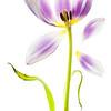 Easter Tulip
