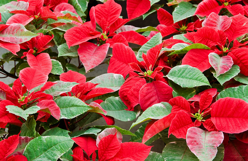 December 1, 2011<br /> <br /> Poinsettias<br /> <br /> Hole's Greenhouse<br /> Enjoy Centre<br /> St. Albert, Alberta<br /> <br /> * For the month of December I am challenging myself to post images that could be used as a Christmas card. I hope you enjoy them :)