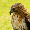 March 2, 2013<br /> <br /> Golden Eagle<br /> <br /> Alberta Birds of Prey<br /> Coaldale, Alberta