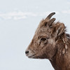 Young Bighorn