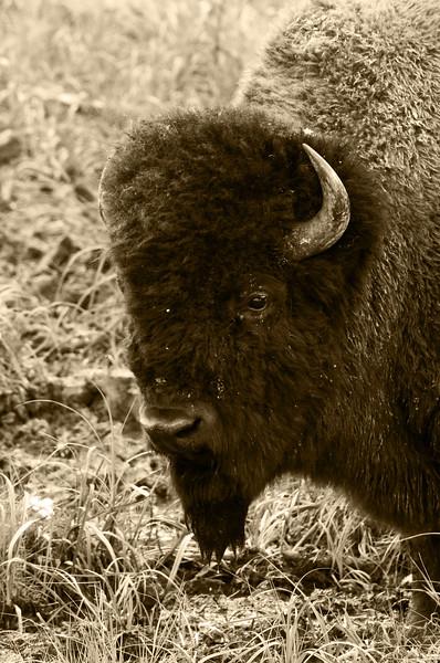 """August 8, 2011<br /> <br /> """"Past & Present""""<br /> <br /> Plains Bison<br /> <br /> Elk Island National Park, Alberta"""