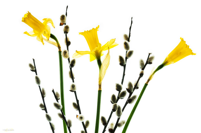 April 15, 2014  Spring Fun  * Recently,, a member of our local camera club hosted a Light Table workshop. There were a variety of fresh and dried flowers to choose from. These daffodils and pussy willows make me hopeful that spring is on its way!!