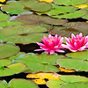 December 11, 2012<br />  <br /> Pink Delights<br /> <br /> Water Lillies<br /> Dutch Lake, B.C.