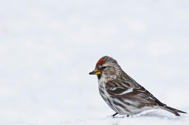 November 4, 2012<br /> <br /> Female Common Redpoll<br /> <br /> Elk Island Retreat<br /> Alberta