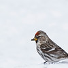 November 4, 2012<br /> <br /> Female Common Redpoll<br /> <br /> Elk Island Retreat<br /> Alberta