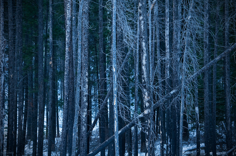 January 16, 2014<br /> <br /> Trees<br /> <br /> Jasper National Park, Alberta<br /> <br /> * Jasper in January<br />  For the month of January, I will be editing images from my annual trips to Jasper in January.