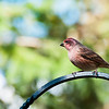 September 28, 2014<br /> <br /> Purple Finch<br /> <br /> Elk Island Retreat<br /> Rural Alberta