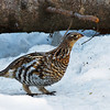 April 8, 2011<br /> <br /> Ruffed Grouse<br /> <br /> Elk Island Retreat<br /> Near Fort Saskatchewan, Alberta<br /> <br /> * I took this photo the last day of March. The Grouse are about to head into mating season so I look forward to listening to the males drumming. It is very difficult to tell the difference between the male and female grouse but I think this is a female because the one I suspect to be male appeared shortly after I took this image.