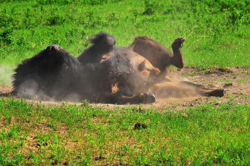 """June 12, 2011<br /> <br /> """"Dust Bath""""<br /> <br /> Plains Bison<br /> <br /> Elk Island National Park, Alberta"""
