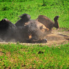 "June 12, 2011<br /> <br /> ""Dust Bath""<br /> <br /> Plains Bison<br /> <br /> Elk Island National Park, Alberta"