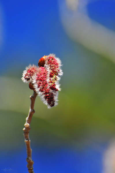 "April 30, 2011<br /> <br /> ""Spring Bud""<br /> <br /> Aspen Poplar Tree<br /> Elk Island Retreat<br /> Near Fort Saskatchewan, Alberta"