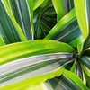 "November 27, 2011<br /> <br /> ""Very Green and Variegated""<br /> <br /> * I was on an outing with the Images Alberta Camera Club (IACC)yesterday. We had an opportunity to photograph throughout the new Enjoy Centre in St. Albert, which is home to a greenhouse, a winery, delicatessen, many great stores and more. In addition to all the holiday cheer, it was nice to see and smell greenery.<br /> <br /> Enjoy Centre<br /> St. Alberta, Alverta"