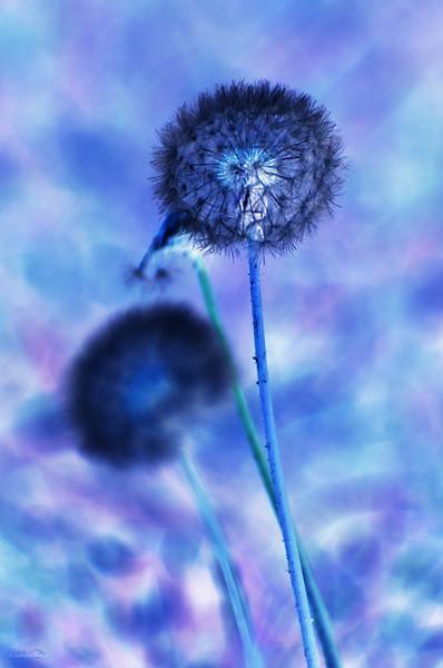 September 10, 2011<br /> <br /> Dandelions