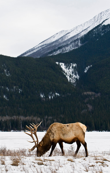 January 21, 2013<br /> <br /> Elk<br /> <br /> * I did not see much wildlife while I was in Jasper this year. Usually you see a lot of elk and bighorn sheep but for some reason I just didn't see many this time.<br /> <br /> Jasper National Park, Alberta<br />  <br /> Jasper in January - Embrace winter!