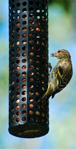 """August 26, 2011<br /> <br /> """"Finch on Feeder""""<br /> <br /> American Gold Finch<br /> <br /> Elk Island Retreat<br /> Near Fort Saskatchewan, Alberta"""