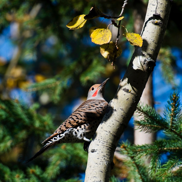 October 11, 2013<br /> <br /> Northern Flicker<br /> <br /> * This male Northern Flicker has been coming to our campsite to feed. It is a beautiful bird!! I hope it decides to winter here :)