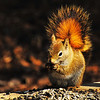 April 27, 2011<br /> <br /> Red Squirrel<br /> <br /> Elk Island Retreat<br /> Near Fort Saskatchewan, Alberta