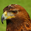 February 11, 2012<br /> <br /> Golden Eagle<br /> <br /> Alberta Birds of Prey<br /> Coaldale, Alberta<br /> <br /> * For the month of February, I will be processing images of my furry and feathered friends. I hope you enjoy them :)