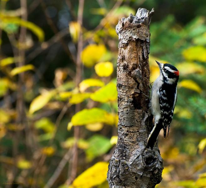 October 5, 2013<br /> <br /> Downy Woodpecker<br /> <br /> Elk Island Retreat, Alberta