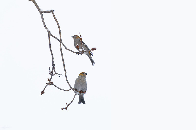 February 14, 2012<br /> <br /> It Takes Two  ~  Happy Valentine's Day!<br /> <br /> Pine Grosbeaks<br /> <br /> Elk Island Retreat<br /> Near Fort Saskatchewan , Alberta<br /> <br /> * For the month of February, I will be processing images of my furry and feathered friends. I hope you enjoy them :)
