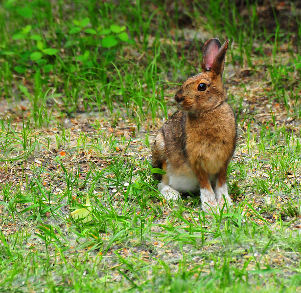June 1, 2012<br /> <br /> Buzz Bunny<br /> <br /> Elk Island Retreat<br /> Near Fort Saskatchewan, Alberta
