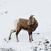 January 12, 2013<br /> <br /> Should I stay, or should I go?<br /> <br /> Bighorn Sheep<br /> Jasper National Park, Alberta<br />  <br /> Jasper in January - Embrace winter!