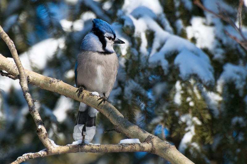 February 20, 2012<br /> <br /> Blue Jay<br /> <br /> Elk Island Retreat<br /> Near Fort Saskatchewan , Alberta<br /> <br /> ~We went out to our campsite to feed the birds and visit Buddy today. I don't know who gets more excited... us or them. At one point there had to be four Blue Jays in my eye shot. Amazing :)<br /> I can't wait for Spring!!!<br /> <br /> * For the month of February, I will be processing images of my furry and feathered friends. I hope you enjoy them :)