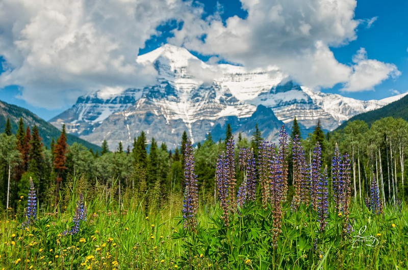 Wildflowers at Mount Robson