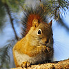 "February 22, 2011<br /> <br /> ""Mr. Squirrel""<br /> <br /> Elk Island Retreat<br /> Near Fort Saskatchewan, Alberta<br /> <br /> * Yesterday we went out to our site to feed the birds. This little guy ended up stealing the show, and the peanuts!!"
