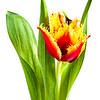 Dutch Tulip