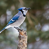 February 5, 2012<br /> <br /> Blue Jay<br /> <br /> Elk Island Retreat<br /> Near Fort Saskatchewan , Alberta<br /> <br /> * For the month of February, I will be processing images of my furry and feathered friends.  I hope you enjoy them :)