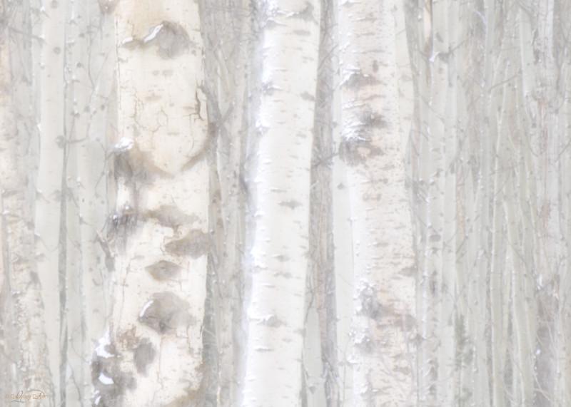 """February 28, 2011<br /> <br /> """"Aspen Forest""""<br /> <br /> Jasper National Park, Alberta"""