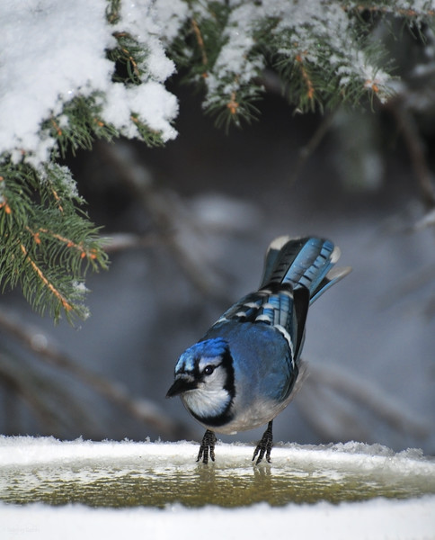 "November 14, 2011<br /> <br /> ""Brrrrrrrr...d Bath""<br /> <br /> Blue Jay<br /> Elk Island Retreat"