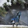 "November 14, 2011<br /> <br /> ""Brrrrrrrr...d Bath""<br /> <br /> Blue Jay<br /> Elk Island Retreat"