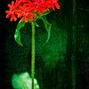 Scarlet Lychnis
