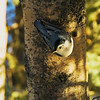 "Day Thirty-Eight<br /> <br /> ""White-breasted Nuthatch""<br /> <br /> Elk Island Retreat, Alberta<br /> <br /> * Thanks for all your comments on the Ruffed Grouse :) They are very elusive but with a little patience I managed to get within about 4 feet of this one. Well worth the wait !"