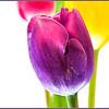 Bright Tulips