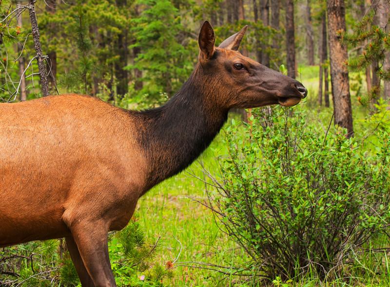 February 27, 2014<br /> <br /> Wapiti<br /> <br /> Jasper National Park, Alberta
