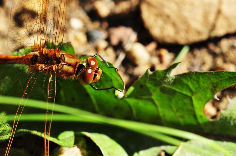 August 27, 2011<br /> <br /> Dragonfly<br /> <br /> Elk Island Retreat<br /> Near Fort Saskatchewan, Alberta